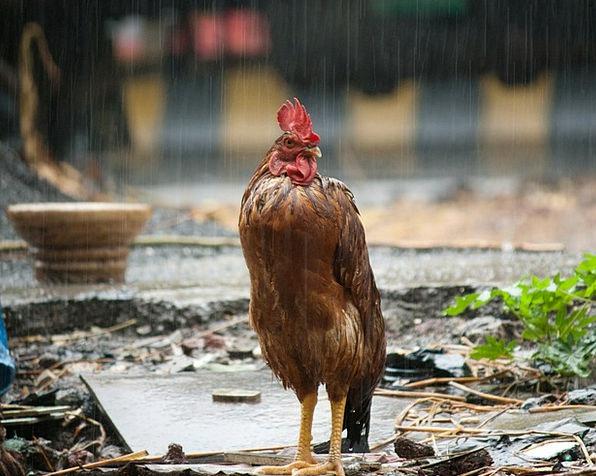 Cock-Raise-Bird-Rain-Free-Image-Wet-Agriculture-Fa-6348