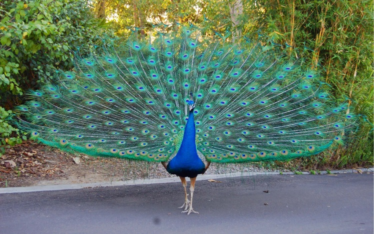 beautiful-peacock-bird-dancing