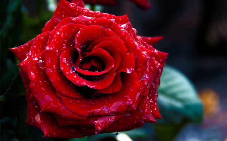 blooming-red-roses-symbolize-love